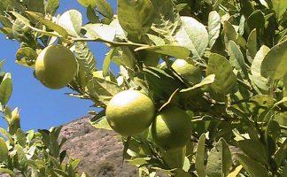 Premières récoltes à Pujas